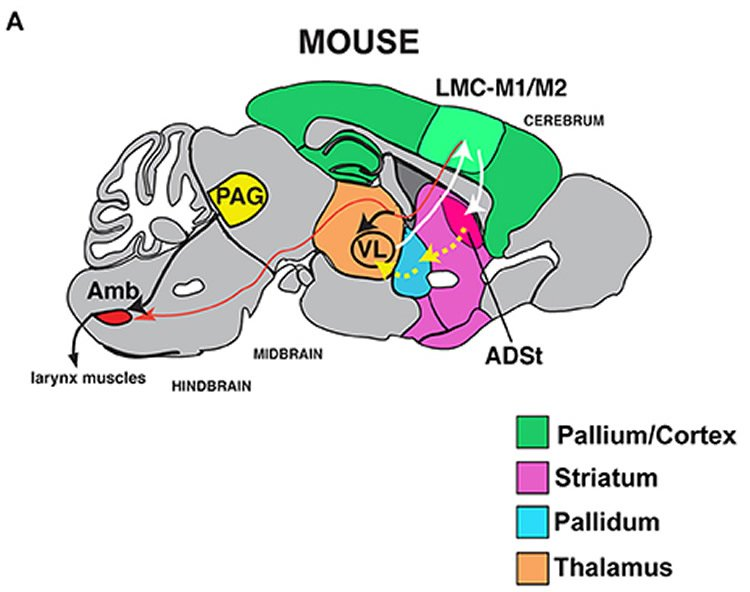 Male mice model human speech defect neuroscience news image shows a mouse brain ccuart Gallery