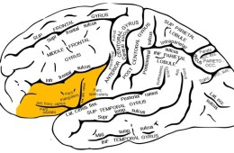 Image shows the location of the inferior frontal cortex in the human brain.