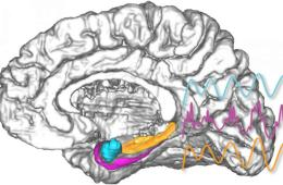 Image shows the basolateral amygdala highlighted in the brain.