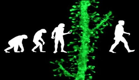 Ape-like ancestors and humans walking with a dendritic spine overlapping the image.