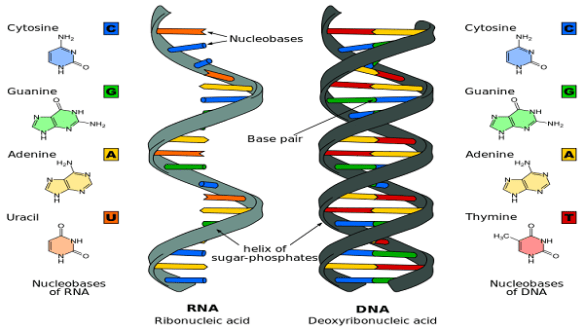 dna_rna_structure