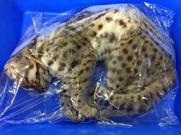 台灣苗栗的石虎,在居民濫殺之下,正瀕臨絕種。 圖片來源:東森新聞