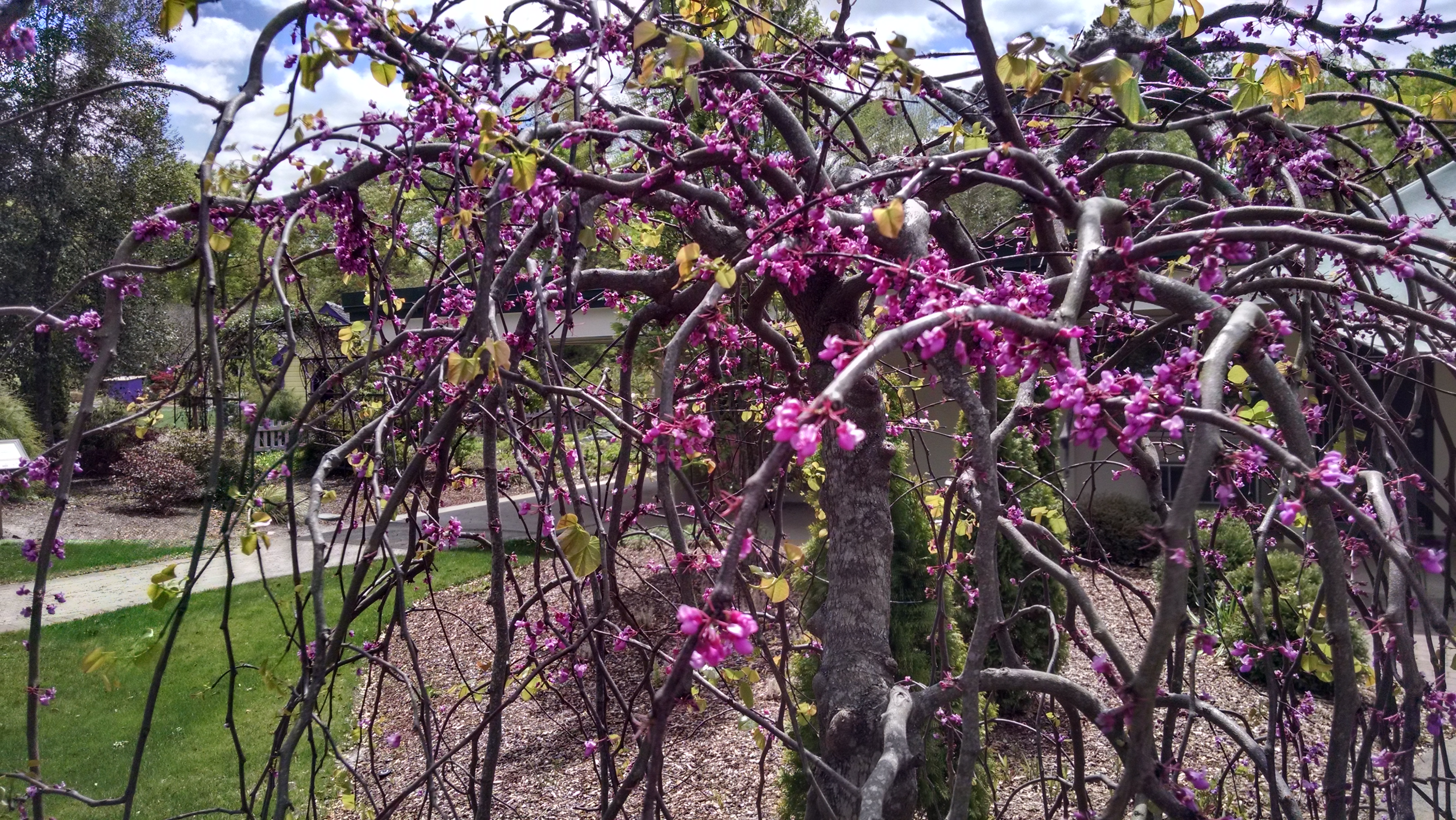 Innovative With Its Purple New Growth Is Still Most Purple Last Once Heat Turns But Getting To Know A Native North Carolina Cooperative Extension houzz-02 Rising Sun Redbud