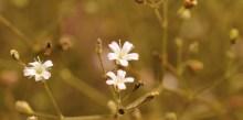 gypsophila-paniculata-1200x600