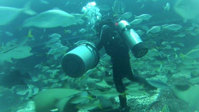 BBC News   Cool jobs: Aquarium scuba diving with tropical fish