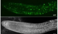DUO1 expression in Arabidopsis roots. Image Credit: Image generated by Lynette Brownfield (University of Leicester)