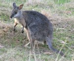 Tammar wallaby Macropus eugenii