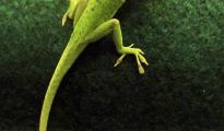 Researchers at ASU and UA have discovered that regenerated lizard tails are quite different from original tails. Pictured here: Green anole male with a regenerated tail (brown region).