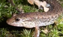 Northern Dusky Salamander in North Carolina, Image credit: Kristen Cecala
