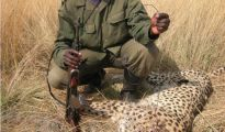 Snared cheetah recovered by a park ranger in Zambia. Image credit:Zambia Carnivore Programme