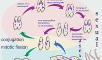 paramecium-life-cycle