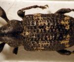 Heilipodus-laevicollis