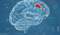 The dorsolateral prefrontal cortex, depicted in blue and red, is larger and linked with better function in those who carry one copy of the KLOTHO gene variant. Illustration by Michael Griffin Kelly