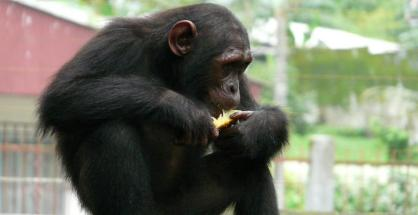 Endangered chimps