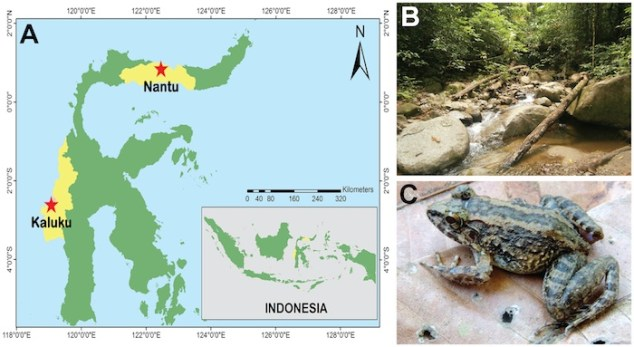 Collection locality, habitat and live Limnonectes larvaepartus. (A) Collection locality of Limnonectes larvaepartus at Bontula, Nantu Wildlife Sanctuary, Gorontalo Province, Indonesia, (B) habitat of L. larvaepartus at Bontula, and (C) an adult female L. larvaepartus (MZB Amp 23978) in life. Image Credit: PlosOne