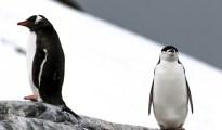 Penguin climate change