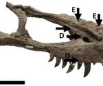 Tyrannosaurs cannibals