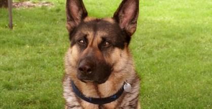 shepherd dog cancer