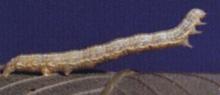 Cankerworm