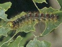 Gypsy Moth catapillar