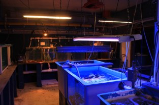The center's indoor wet lab, housing corals in tanks under blacklight. (Kathleen Ferraro/MEDILL)