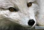 140529163323-arctic-fox-irpt-horizontal-gallery
