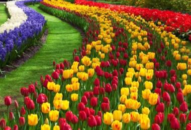 الزهور في هولندا