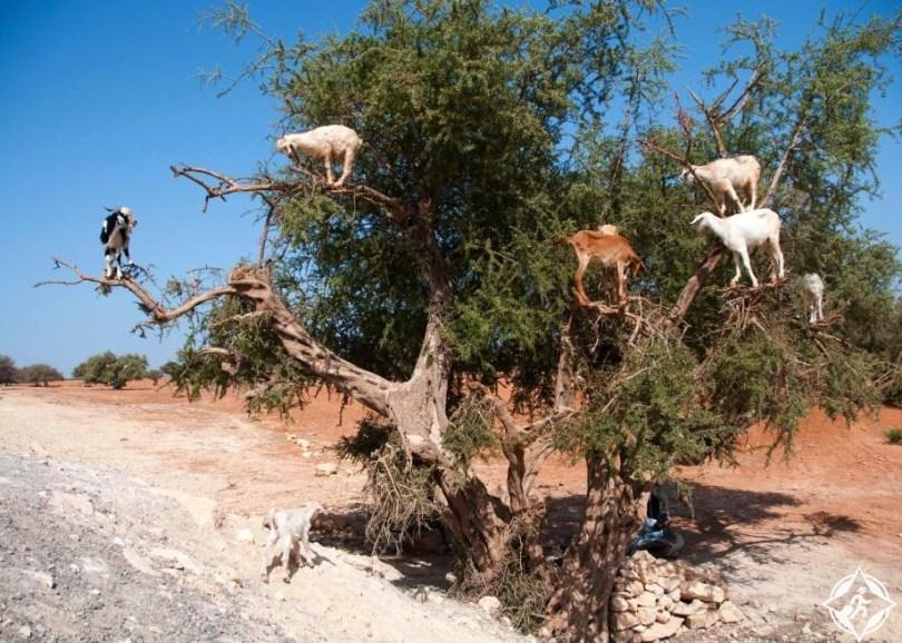 الماعز يتسلق شجرة أرغان