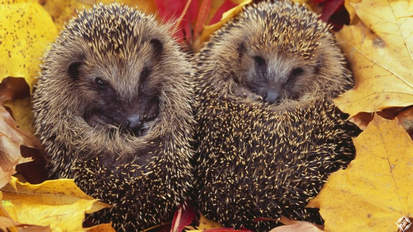 Two hedgehog curled up in autumn