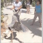 Release of a Wurdamann's Heron