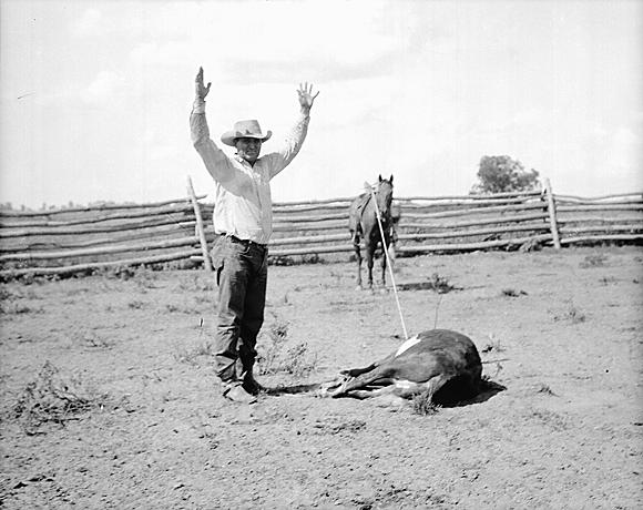 Cowboy tying cattle