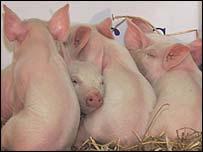 انفلونزا الخنزير تقرير انفلونزا الخنزير _40023118_pigs203.jpg