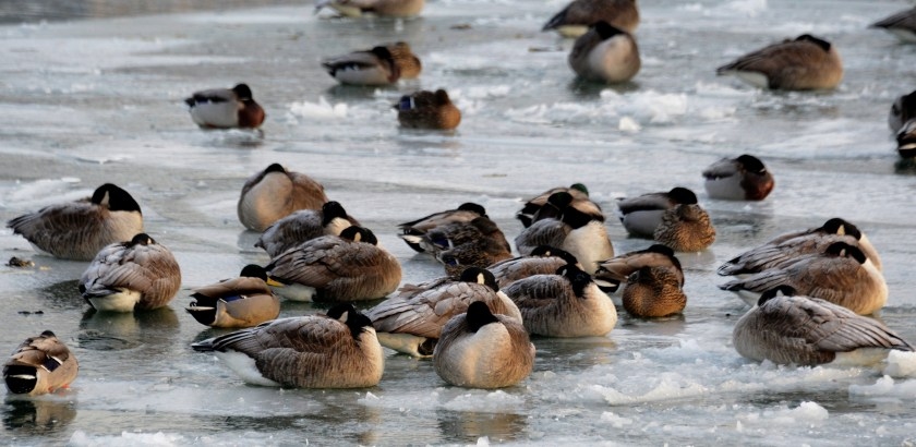 Darrell Sapp/Post-Gazette / Pittsburgh — 01/25/2016 — for Local — STAND ALONE — On Ice — Geese and mallards nap on the ice on the Monongahela River , near Riverfront Park.      digital image #dsc6397     slug — 20160125dsOnIceLocal.jpg