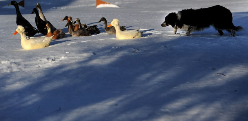 Michael Henninger/Post-Gazette 20160113MWHgeesepolice Local Brandon Bowen issues commands to his dog Mick, a 7-year-old border collie, while herding ducks as part of a training session at Bowen's Gibsonia home on Wednesday, Jan. 13, 2016.  Bowen is owns The Geese Police of Western Pennsylvania, a local franchise of a multi-state company that scares geese away from a clients' properties.