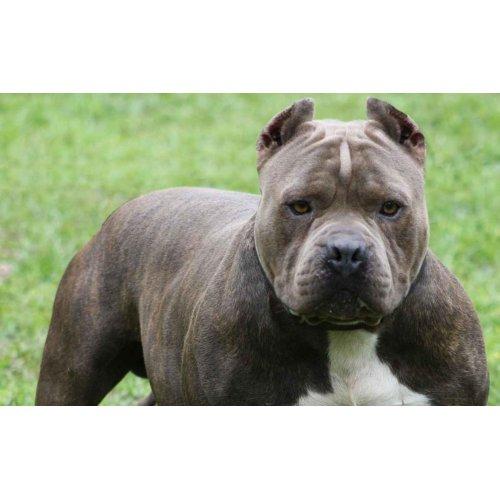 Medium Crop Of American Dog Breeds