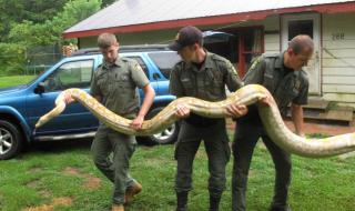 Mack Ralbovsky, left, of the Rainforest Reptile Shows, gets assistance from Vermont game wardens Tim Carey, center, and Wes Butler as they remove a reticulated python, between 17 and 18 feet long, from the home of Pat Howard Tuesday, Aug. 25, 2015, in North Clarendon, Vt. Howard got the female snake and a slightly smaller male on Sunday from a person in New York, but turned them over to game wardens because he doesn't have a license to keep them and they are too big. The wardens sent the snakes to the Rainforest Reptile Shows in Massachusetts, which will care for them. (AP Photo/Wilson Ring) (AP Photo/Wilson Ring)