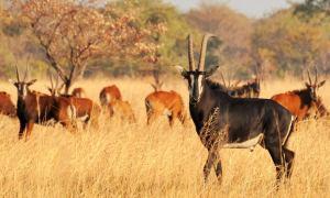 sable-malawi-wildlife-volunteer__zoom