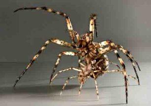 Bei vielen Spinnen, wie der Wespenspinne (hier das Modell) enden die Paarungen häufig tödlich. Das Männchen (klein, im Vordergrund) wird meist noch während der Paarung vom Weibchen gefressen. Die Fortpflanzungskarriere des Männchens ist damit vorzeitig beendet. Foto: Hanne Moschkowitz
