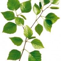 Birkenblätter - Inhaltsstoffe und Wirkung