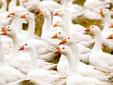 Nur Wasservögel wie Gänse und Enten geben Bettdaunen © Stiftung Warentest
