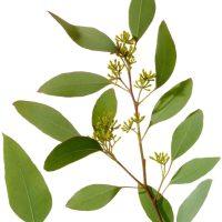 Eukalyptus - Inhaltsstoffe und Wirkung