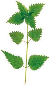 Angewandt werden die Blätter der Brennnessel zum einen bei Arthritis gegen verschiedene Formen des Rheumatismus. Foto: Wirths PR / Schoenenberger