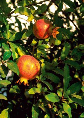 Vom Granatapfel kann man die Samen verzehren. Diese haben einen mit Johannisbeeren vergleichbaren Geschmack. Foto: Schoenenberger/Wirths PR