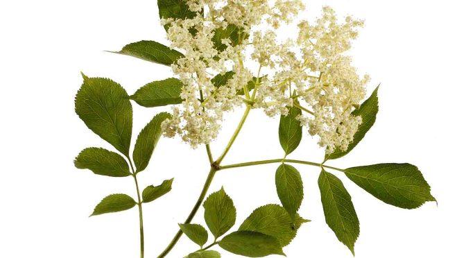 Holunderblüte – Inhaltsstoffe und Wirkung