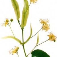 Lindenblüten - Inhaltsstoffe und Wirkung