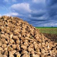Auf der jahrhundertealten Spur der Zuckerrüben-Züchter
