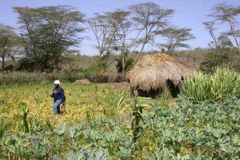 """Pangani-Ebene in Tansania: Papyrus, Sumpfakazie, Reis, Mais, Feldgemüse - viele Feuchtgebietsstandorte unterstützen auch eine große Vielfalt von Kulturarten. Die Erzeugung von Nahrungsmitteln im Einklang mit der Natur ist ein vordringliches Ziel des Projekts """"GlobE – Wetlands in East Africa"""".  © Foto: Helida Oyieke"""