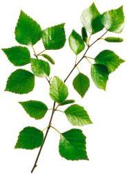 Birkenblätter fördern die Entwässerung sowie Entgiftung. Foto:© Wirths PR