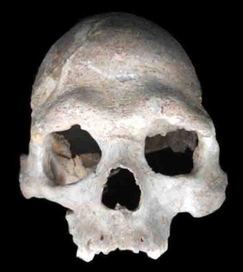 (A) Schädel des ungefähr 8.000 Jahre alten männlichen Jägers und Sammlers von der Loschbour-Fundstelle in Luxemburg, dessen Genom sequenziert wurde. Bild: Dominique Delsate, Musée national d'Histoire naturelle de Luxembourg