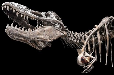 """Der Tyrannosaurus rex ist der """"König"""" unter den Dinosauriern - aber wie kam er zu seinem Ruhm? Foto: LWL/Steinweg"""